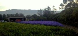 Agapanthus field II.